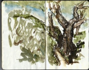 Drawing of an old Oak tree