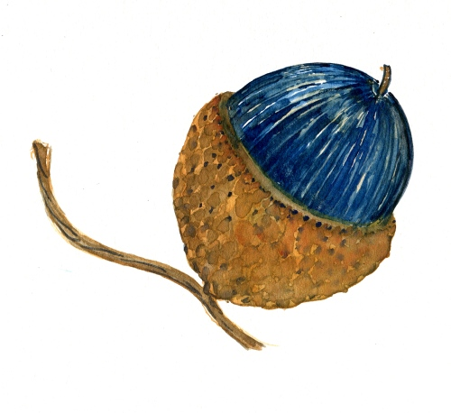Acorn study, Watercolor
