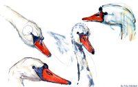 Watercolor of swans