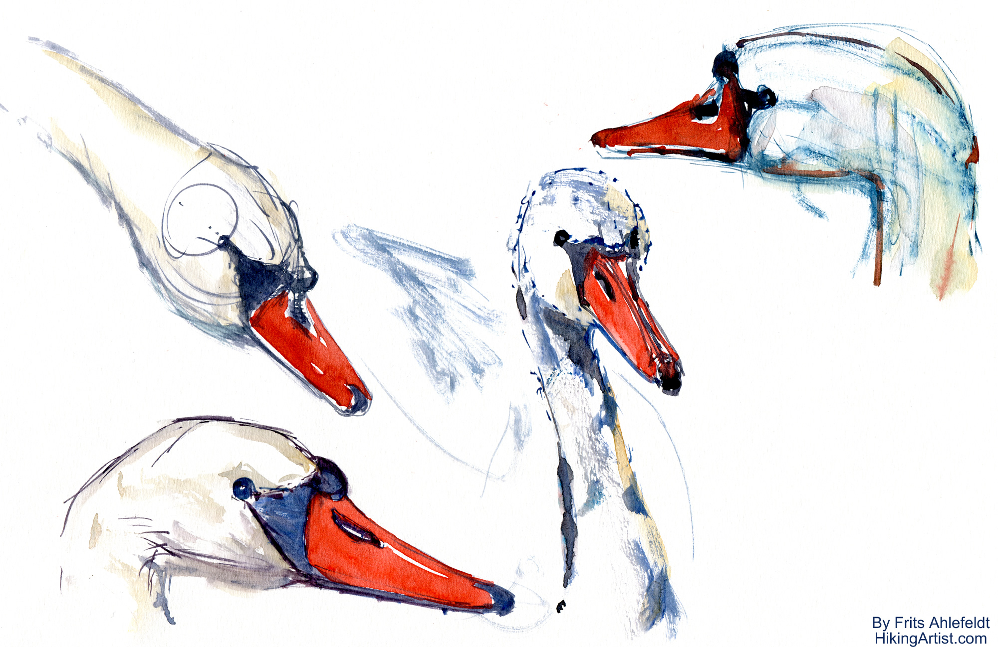 Swan watercolor sketches | The Hiking Artist project by ...
