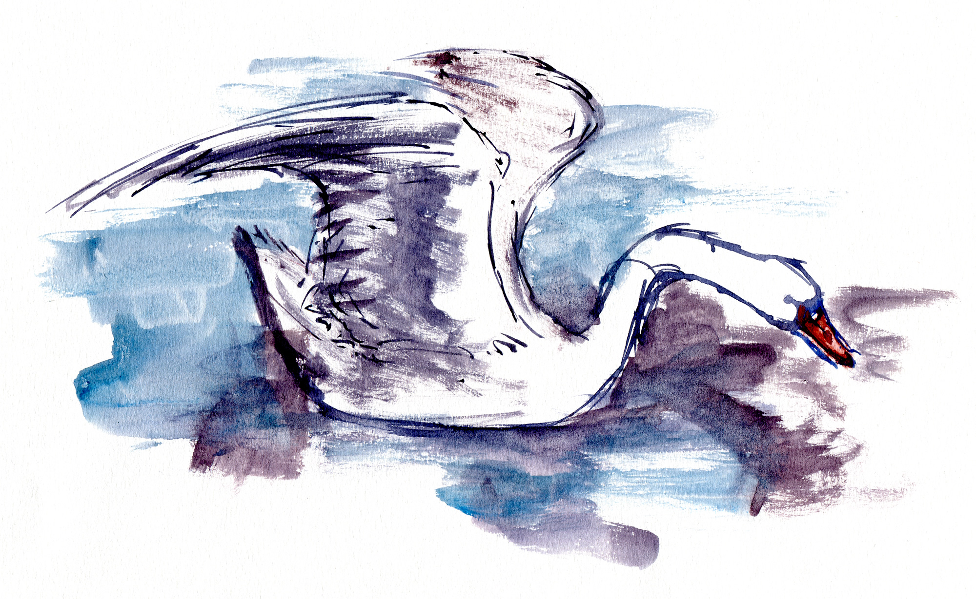 Swan watercolor sketches | The Hiking Artist project