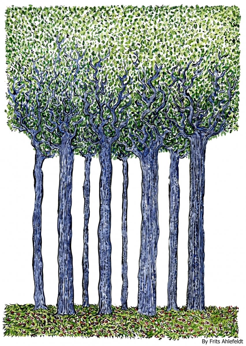 Tall Trees Drawing Trees Standing Tall