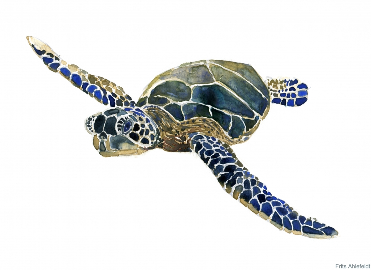 Sea Turtles Watercolors The Hiking Artist Project By Frits Ahlefeldt
