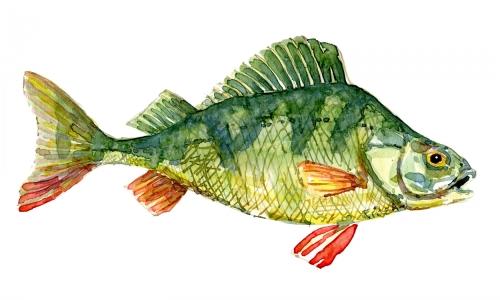 Watercolour of Perch fish