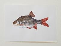 Rudd freshwater fish watercolor