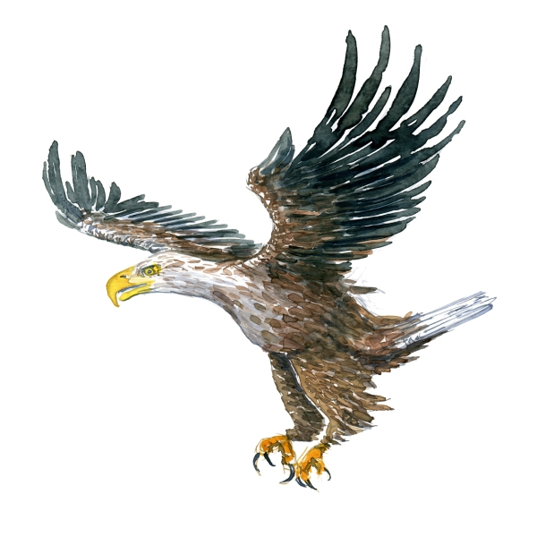 Watercolour painting of an eagle landing (flying)