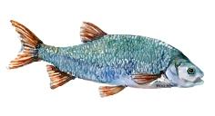 Watercolor of freshwaterfish, by Frits Ahlefeldt - Rimte Dansk Ferskvandsfisk