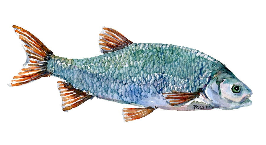 Watercolor of freshwaterfish, by Frits Ahlefeldt - Rimte Dansk Ferskvandsfisk