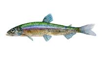 Watercolor of freshwaterfish, by Frits Ahlefeldt - Helting Dansk Ferskvandsfisk