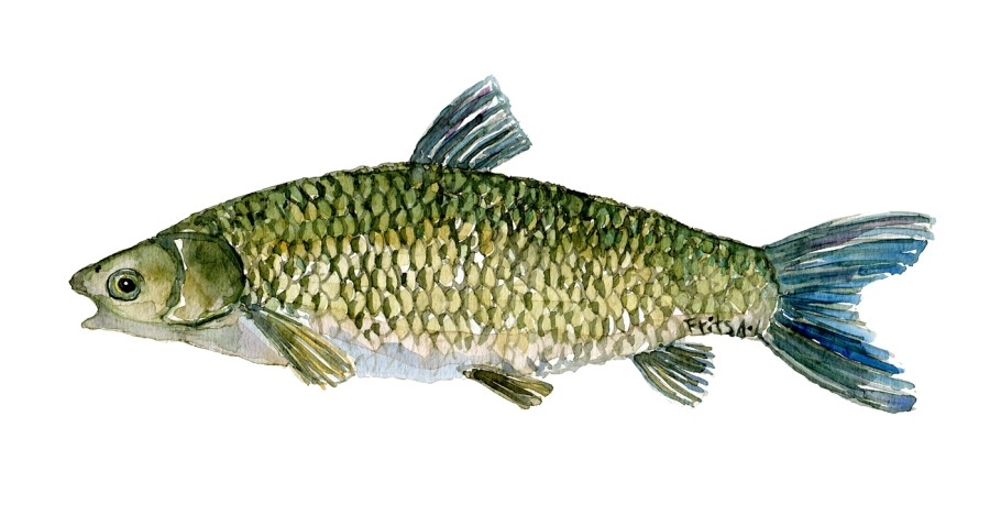 Watercolor of freshwaterfish, by Frits Ahlefeldt - Graeskarpe Dansk Ferskvandsfisk