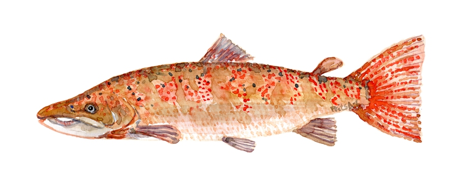 Watercolor of freshwaterfish, by Frits Ahlefeldt - Laks Dansk Ferskvandsfisk