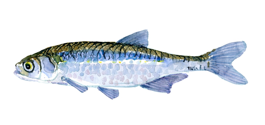 Watercolor of freshwaterfish, by Frits Ahlefeldt - Regnløje Dansk Ferskvandsfisk