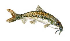 Watercolor of freshwaterfish, by Frits Ahlefeldt - Grundling Dansk Ferskvandsfisk