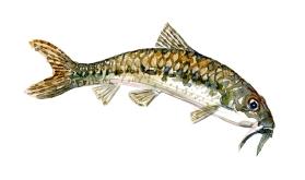 Watercolor of freshwaterfish, by Frits Ahlefeldt - Grundling Dansk Ferskvandsfisk