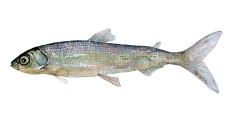 Watercolor of freshwaterfish, by Frits Ahlefeldt - Helting Dansk Ferskvandsfisk