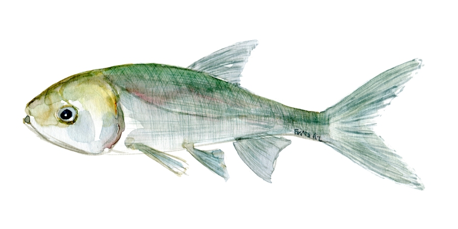 Watercolor of freshwaterfish, by Frits Ahlefeldt - Karpe Dansk Ferskvandsfisk
