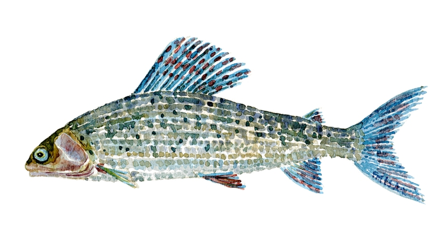 Watercolor of freshwaterfish, by Frits Ahlefeldt - Stalling Dansk Ferskvandsfisk