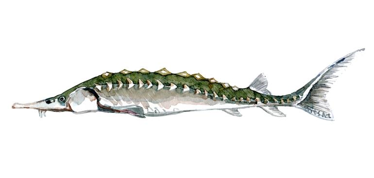 Watercolor of freshwaterfish, by Frits Ahlefeldt - Stør - Dansk Ferskvandsfisk