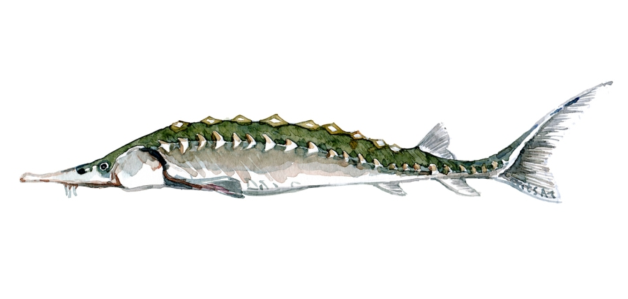 Watercolor of freshwaterfish, by Frits Ahlefeldt - Stør - Dansk Ferskvandsfisk