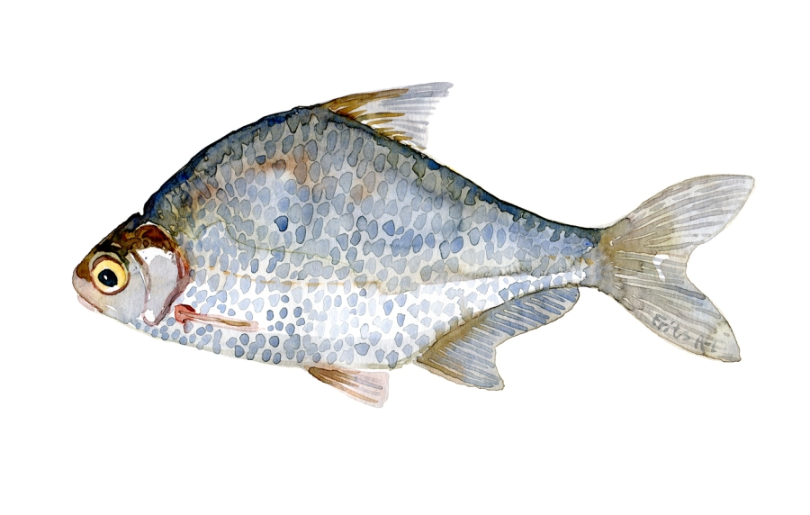 Watercolor of freshwaterfish, by Frits Ahlefeldt - Dansk Ferskvandsfisk