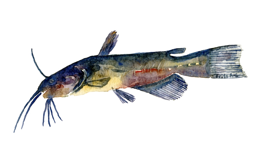 Watercolor of freshwaterfish, by Frits Ahlefeldt - Brun dværgmalle Dansk Ferskvandsfisk