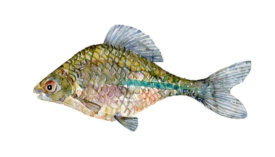 Watercolor of freshwaterfish, by Frits Ahlefeldt - Bitterling Dansk Ferskvandsfisk