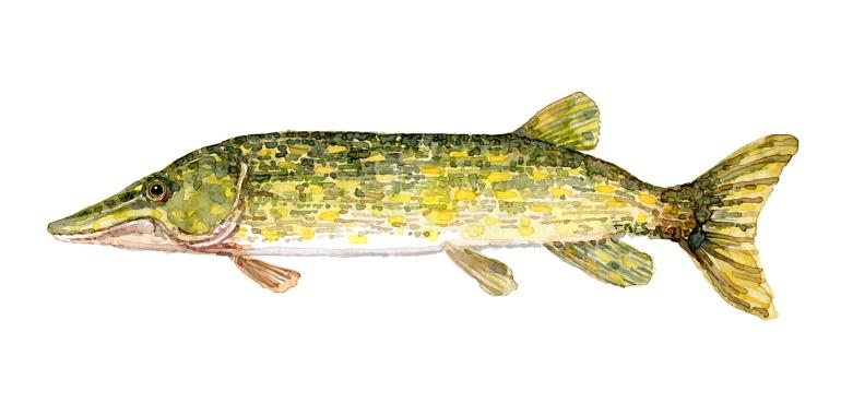 Watercolor of freshwaterfish, by Frits Ahlefeldt - Gedde Dansk Ferskvandsfisk