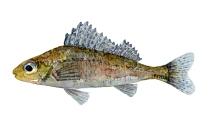 Watercolor of freshwaterfish, by Frits Ahlefeldt - Hork Dansk Ferskvandsfisk
