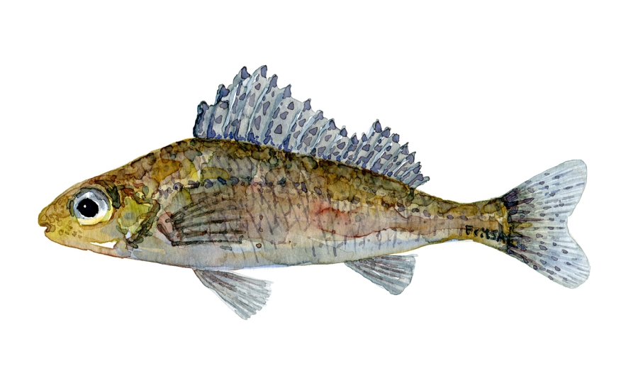 Watercolor of freshwaterfish, by Frits Ahlefeldt - Hork Dansk Ferskvandsfisk