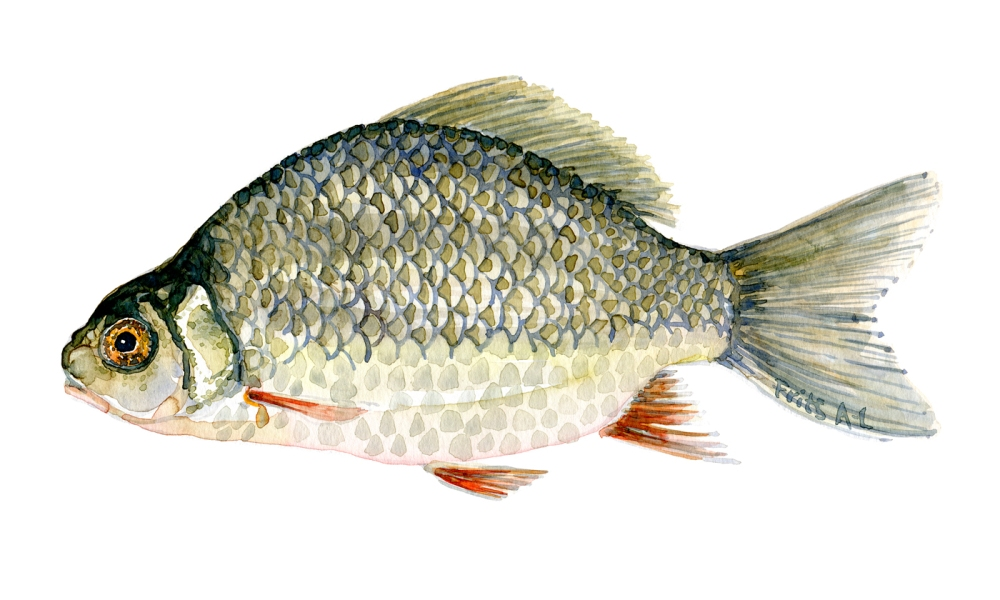 Watercolor of freshwaterfish, by Frits Ahlefeldt - Karusse Dansk Ferskvandsfisk