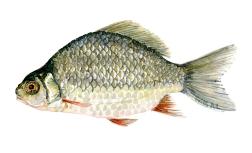 Watercolor of freshwaterfish, by Frits Ahlefeldt - Karusse Dansk Ferskvandsfisk