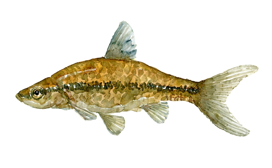 Watercolor of freshwaterfish, by Frits Ahlefeldt - baandgrundling Dansk Ferskvandsfisk