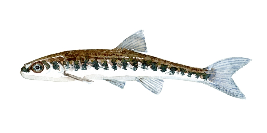 Watercolor of freshwaterfish, by Frits Ahlefeldt - Elritse Dansk Ferskvandsfisk