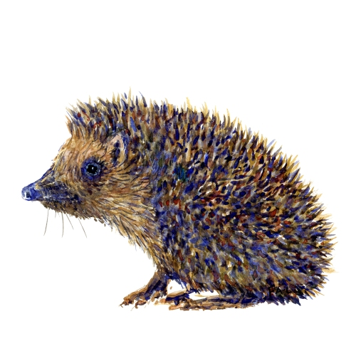 Watercolor artwork of sitting hedgehog mammal, artwork by Frits Ahlefeldt