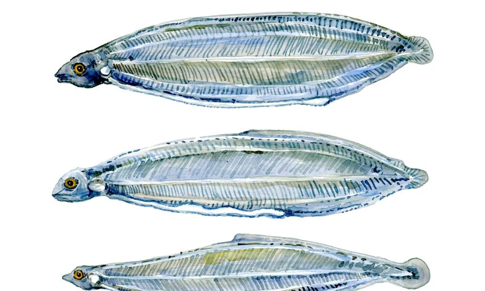 Larvae of the European Eel - watercolor painting