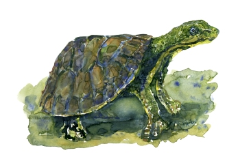 Turtle green watercolor by Frits Ahlefeldt