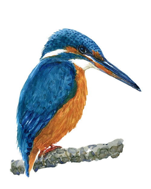 Watercolor of Kingfisher by Frits Ahlefeldt
