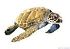sea-turtle-watercolor-15-june-2014