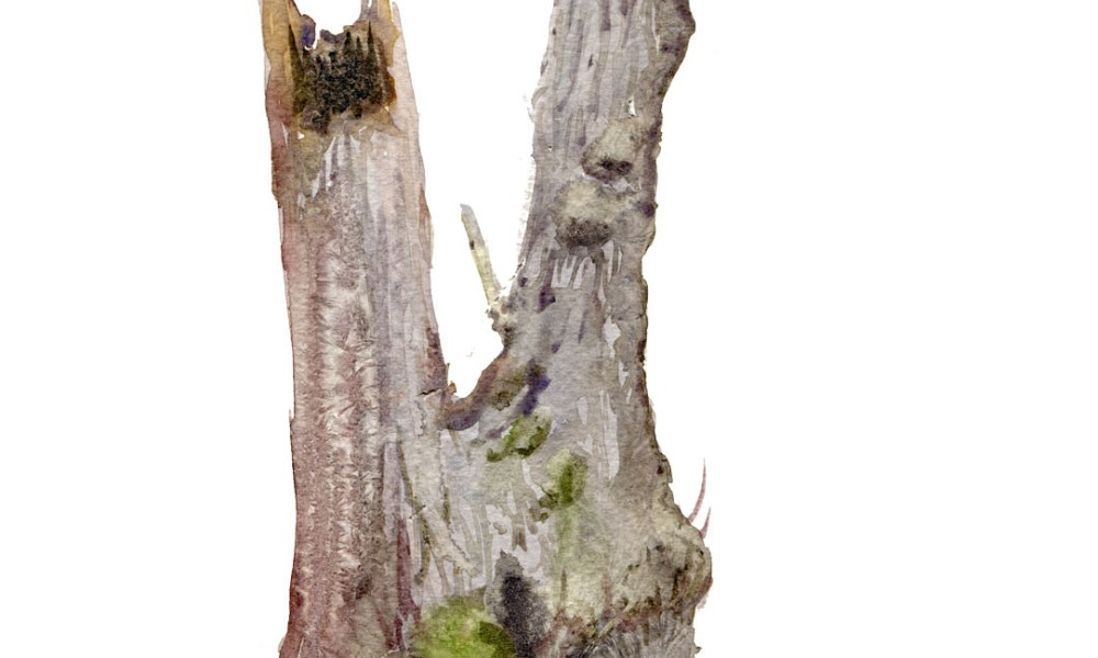 Watercolour painting of Alder tree. Portrait painted live in the forest. Art by Frits Ahlefeldt