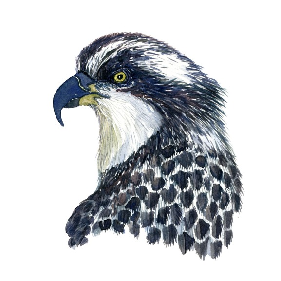 Osprey - a watercolor study sketch. Pure watercolor painting by Frits Ahlefeldt