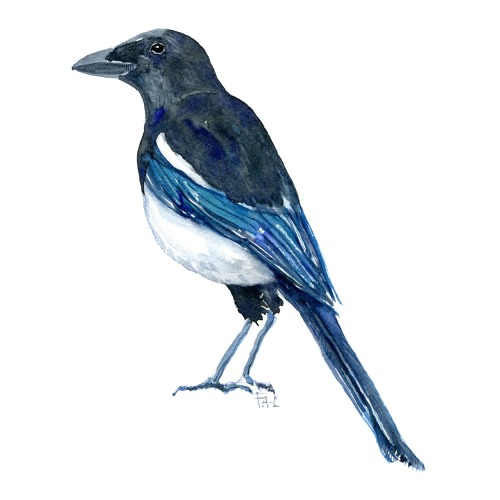 Watercolor of European magpie - art by Frits Ahlefeldt